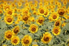 Flower fields (Teruhide Tomori) Tags: nature summer yosano kyoto japan flower sunflower       yellow green landscape field plants