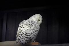 snowyowl (THinLou) Tags: animals louisvillezoo