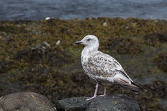 Juv Gull-0266 (WendyCoops224) Tags: canon eos gull isleofmull juvenile herring 600d 24105mml ©wendycooper