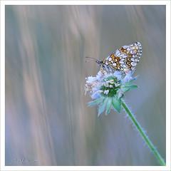 Mlite orange sur scabieuse (Joce.V) Tags: nature canon butterfly bokeh papillon carr lpidoptre 300f4 melitaeadidyma melitaea formatcarr 5dmarkii mliteorange