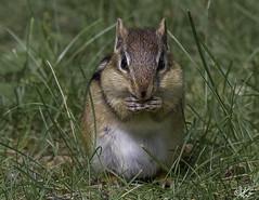 Chipmunk_1194- in explore (Kerry. Williams - Amateur) Tags: canada chipmunk lakewinnipeg borealforrest