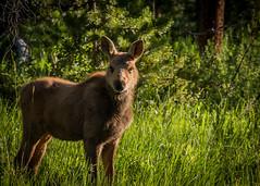 Curious Calf (Kent Copeland) Tags: calfmoose rockymountainnationalpark coloradoriver wildlife