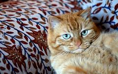 """Camillo"" 10 years old_002 (by emmeci) Tags: gatto animaledomestico"