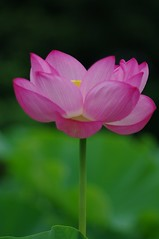 Lotus flower (usotuki) Tags:       yokohamasankeiengarden eventtowatchthelotusintheearlymorning flower pink smcpentaxda60250mmf4edifsdm pentaxk7