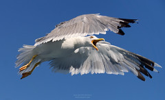 Gull (Alex Apostolopoulos) Tags: greece gull gullinflight summer blue seagull bird closeup sony sonya6000 ilce6000 sonye55210 sel55210