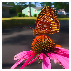 Coneflower with Topper (Timothy Valentine) Tags: butterfly flower 0716 2016 home sliderssunday eastbridgewater massachusetts unitedstates us