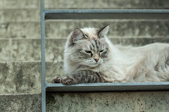 Cats: they enjoy the life how they imagine. We should also do it like cats. (Janne Fairy) Tags: katze cat katzen cats animal animals pet haustier canon canon500d eos500d schmusekatze tier tiere treppe treppen stairs upstairs lapcat lap