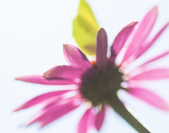 abstrakt citron (martinalinnea) Tags: citronfjril echinacea fjrilar rdrudbeckia rdsolhatt solhatt mygarden2013 alafors lebrcke