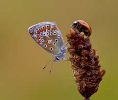 Polyommatus icarus, Coccinella Septempunctata . (Ivan Lynas Nature Photography) Tags: