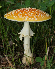 Might be the most beautiful mushroom I have ever encountered  A prime example of Aminita muscaria  #northernminnesota #mushroom #aminita #canon70d #vintage lens (joshsporre) Tags: canon70d aminita vintage northernminnesota mushroom
