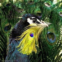 Retaining gold (Lemon~art) Tags: peacock feather gold elegant bird nature manipulation square fun olympic award goldfeather