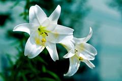 Taiwanese Lily :  (Dakiny) Tags: japan kanagawa yokohama aoba ichigao outdoor nature park plant flower blossom lily taiwaneslily white macro bokeh 2016 summer august nikon nikonclubit d5100 afsnikkor50mmf18g nikonafsnikkor50mmf18g