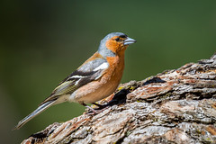 Common Chaffinch (Birds Of Amsterdam) Tags: common chaffinch vink birds france nature close up forest alps outdoor fringilla coelebs