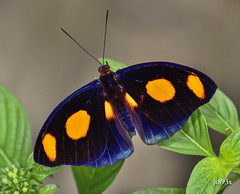 Grecian Shoemaker Male (jt893x) Tags: 105mm afsvrmicronikkor105mmf28gifed butterfly catonephelenumilia d810 grecianshoemaker insect jt893x macro male nikon specanimal