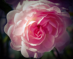Flower Freshness Fragility Rose - Flower Beauty In Nature Pink Color Softness Close-up Pink In Bloom Ros Single Rose Nature_collection Landscape_collection EyeEmNatureLover Nature Blossom Ros Nature On Your Doorstep Roses, Flowers, Nature, Garden, Bouqu (mydestiny31) Tags: flower freshness fragility roseflower beautyinnature pinkcolor softness closeup pink inbloom ros singlerose naturecollectionlandscapecollectioneyeemnaturelover nature blossom natureonyourdoorstep roses flowers garden bouquet love outdoors vibrantcolor selectivefocus
