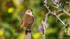 Palm Warbler (Bob Gunderson) Tags: birds california fortmason northerncalifornia palmwarbler sanfrancisco setophagapalmarum warblers woodwarblers