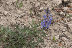 """Lupine • <a style=""""font-size:0.8em;"""" href=""""http://www.flickr.com/photos/63501323@N07/30160087370/"""" target=""""_blank"""">View on Flickr</a>"""
