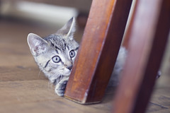 Play (Hello Little Wing) Tags: cat kitten kitty chat chaton animal softtones playful canoncanongirl
