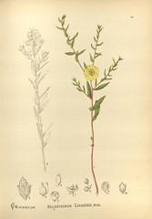Anglų lietuvių žodynas. Žodis helianthemum canadense reiškia <li>helianthemum canadense</li> lietuviškai.