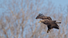 Going In For The Catch (overthemoon3) Tags: fishing eaglephotography eagle predator prey wildlife nature