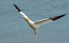 Northern Gannet coming in to land (Steve Moore-Vale) Tags: bemptoncliffs birds england florafauna flying fotobuzz morusbassanus northerngannet places rspb sea unitedkingdom wildlife yorkshire landing