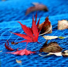 blue season (Wackelaugen) Tags: red blue leaf autumn leaves autumnleaves flickrfriday canon eos photo photography wackelaugen googlies