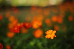 Untitled (/KENTAMA) Tags: autumn cosmos bokeh eos6d planart1450 cosmossulphureus