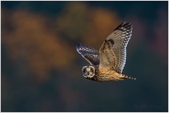 Short Eared Owl (Pius Sullivan) Tags: short eared owl bird raptor nature outdoors canone fall colors