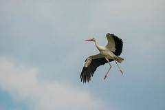Grand Jet (beatriceverez) Tags: stork flight dancing feathers bird marchegg