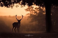 Defiant (Dan Portch) Tags: deer fallow buck stag rut autumn morning orange bronze knole knolepark sevenoaks kent uk wildlife animal