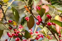 (klgfinn) Tags: autumn bush euonymus fruit landscape leaf light sunlight