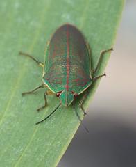 Coleotichus blackburniae adult (J. B. Friday) Tags: coleotichusblackburniae coleotichus hemiptera heteroptera scutelleridae