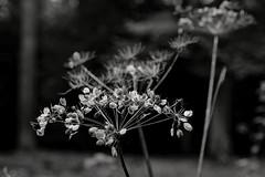 Cow Parsley (Mr.White@66) Tags: monochrome bw blackandwhite seedhead biancoenero nature autumn shadows light fujifilm fujifilmxt2 dof