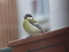 Young Great Tit (Thrush-Nightingale) Tags: oiseau bird oisillon young jeune great tit greattit msange charbonnire msangecharbonnire parus major parusmajor passereau passerine passriforme