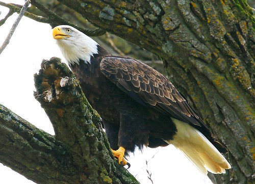 bald eagle at Decorah Fish Hatchery IA 854A7594