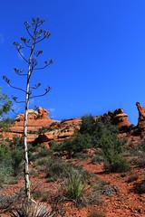 Real Blue (gebodogs) Tags: arizona vortex tree hiking sedona boyntontrail