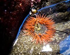 Burrowing anemone (Anthopleura artemesia) (manzanita-pct) Tags: oregon tidepool seaanemone