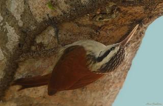 Arapaçu-do-cerrado | Narrow-billed woodcreeper (Lepidocolaptes angustirostris)