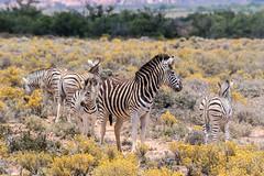 Zebras, Little Karoo, Western Cape, South Africa (Inti Runa) Tags: southafrica mammal wildlife safari zebra eland mammifère westerncape canonef100400mmlis littlekaroo canoneos7dmarkii