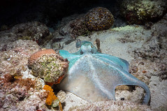 Caribbean Reef Octopus 379a (rwe0207) Tags: fish turtle scuba diver cozumel octupus underwaterphotography