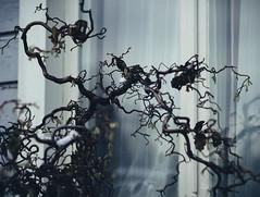 november nature (miemo) Tags: winter reflection window nature leaves finland helsinki europe branch curls olympus botanicalgarden omd kaisaniemi em5 olympus45mmf18