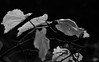 _NIK0503 (nikdanna) Tags: nature leaves foglie blackwhite natura bianconero interno7 nikdanna