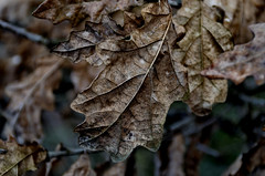 The colour winter can bring (adam_moralee) Tags: old winter plant colour detail macro adam nature up leaves closeup out lens is interesting nikon focus close somerset can devon veins coming tamron bring withering 18200mm hemyock moralee d7000 nikond7000 adammoralee macromainia