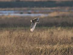 Short-eared Owl (asio flammeus) (mrm27) Tags: owl cambridgeshire asio shortearedowl asioflammeus burwellfen