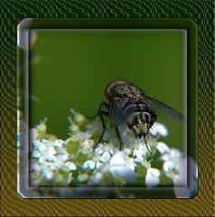 Pollenia Cluster Fly Butt 1 (DarkOnus) Tags: macro closeup lumix fly cluster butt 2d diptera pollenia dmcfz35 beautifulbugbuttthursday