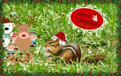 Merry Christmas from Santa and his Helpers (ChicaD58) Tags: backyard critter chipmunk merrychristmas havingfun santachippy