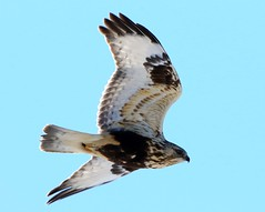 rough-legged hawk 4 near Lime Springs IA 854A2682 (lreis_naturalist) Tags: county hawk howard reis iowa larry springs lime roughlegged