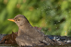 Blackbird having a bath (Wildlifestudios) Tags: winter bird water garden bathing blackbird craigrichardson wildlifestudios