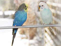Melopsittacus undulatus (max schrader photografie) Tags: winter bird fenster australia australien haustier vogel farben wellensittich melopsittacus undulatus tolleranz