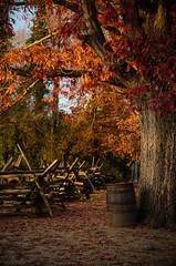 Fence Barrel Tree (SomeoneSaidFire) Tags: trees fall colors leaves fence virginia barrel historic williamsburg